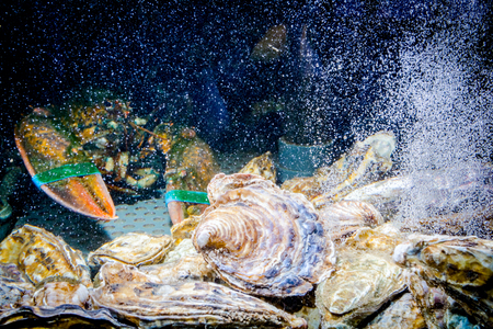 Live exotic and expensive crayfish with tied claws among oysters are in aquarium, tank at traditional seafood restaurant for sale.
