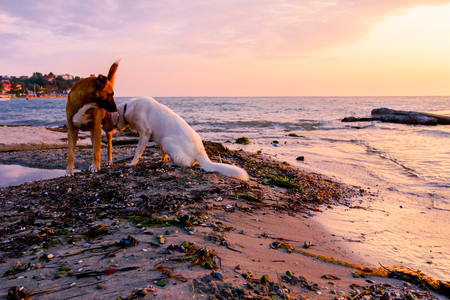 Two dogs are relaxing on a sandy beach at early morning Sun, dawn.