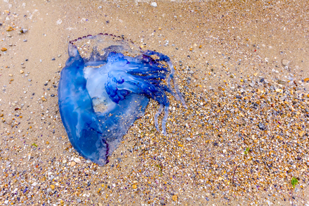 Carcass of dead huge blue jellyfish is washed up by the sea on sandy beach.