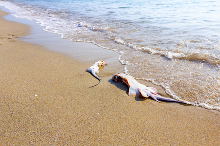 Carcass of dead, killed stingray with chop off wings is washed up by the sea on sandy beach.