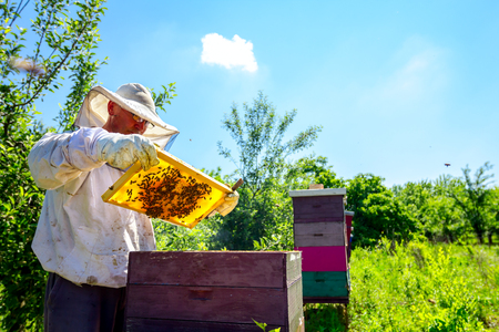 Beekeeper is looking swarm activity over honeycomb on wooden frame, control situation in bee colony. Banque d'images