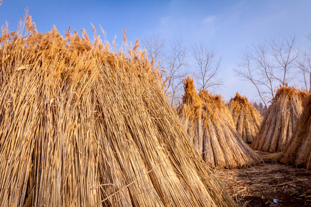 Bundles of tied dry reeds in the rural yard, was packed and ready for further industrial process. Banque d'images