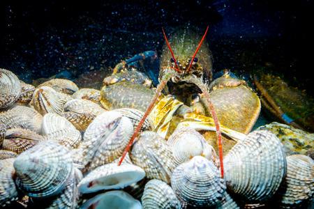Gamberi esotici e costosi vivi con artigli legati su un mucchio di vongole sono in acquario, vasca in un ristorante di pesce tradizionale in vendita. Archivio Fotografico