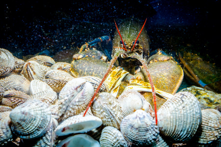 Live exotic and expensive crayfish with tied claws on pile of clams are in aquarium, tank at traditional seafood restaurant for sale.