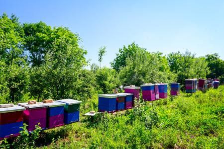 Colmenas de madera de colores en una fila se colocan frente al bosque, colonia de abejas. Foto de archivo