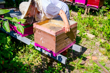 Barehanded senior woman, Beekeeper, is control situation in bee colony.