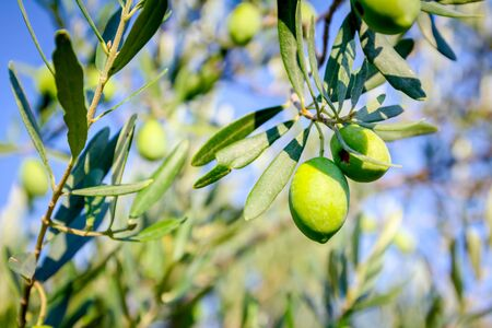 View on the canopy of green olive tree at plantation. Reklamní fotografie