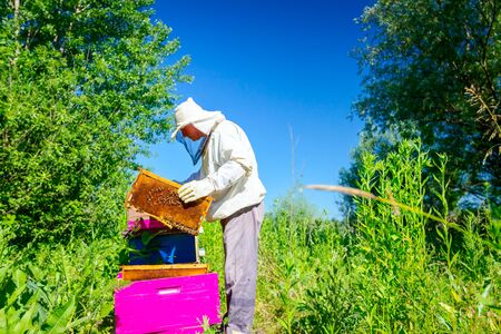 Beekeeper is taking out the honeycomb on wooden frame to control situation in bee colony. 免版税图像