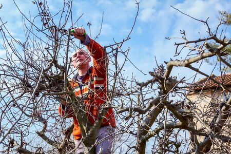 Elderly man, gardener is climbed up in treetop he pruning branches of fruit trees using loppers at early springtime.