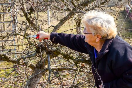 Senior woman is pruning branches of fruit trees in orchard using loppers at early springtime.