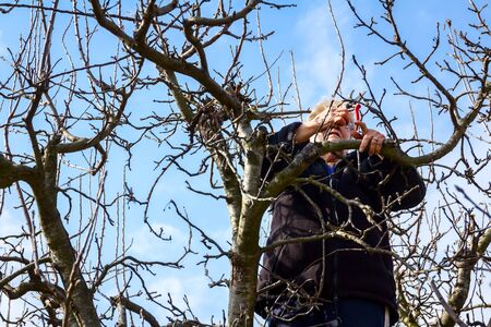Elderly woman, gardener is climbed up in treetop she pruning branches of fruit trees using loppers at early springtime.