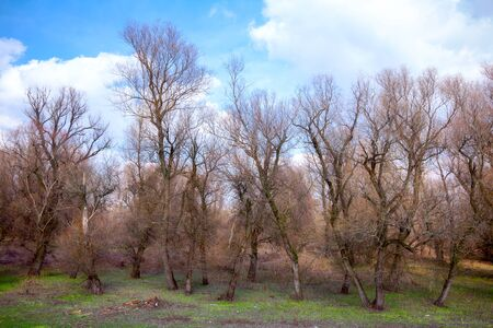 Trees with bare branches, blue cloudy sky and green grass in the forest in early spring time.