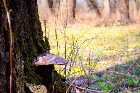Wild old mushroom growth on tree trunk in the forest on springtime.