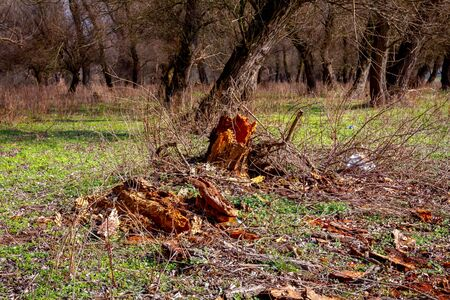 Broken rotten tree and green grass in the forest in early spring time.