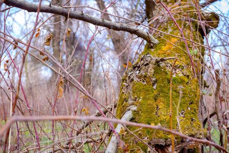 Green moss is on old broken rotten tree in the forest.