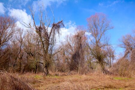 Trees with bare branches, blue cloudy sky and dried grass in the forest.