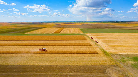 Above view at agricultural harvester is cutting and harvesting mature corn on farm fields, cornfield.