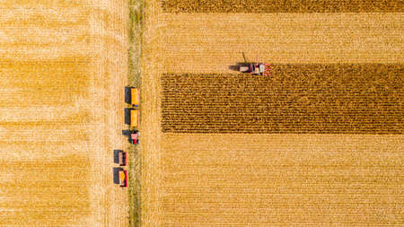 Aerial top view of agricultural harvester is cutting and harvesting mature corn on farm fields, cornfield. Фото со стока
