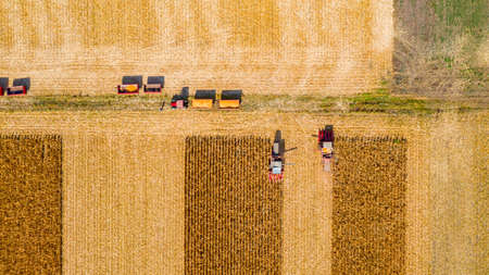 Above top view at two, agricultural harvesters, as they are cutting and harvesting mature corn on farm fields, cornfield.
