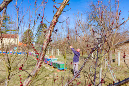 Elderly farmer, gardener is pruning branches of fruit trees using long loppers in orchard at early springtime, near bee colony, apiary.