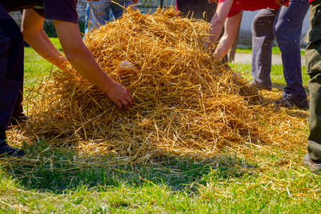 Teamwork of butchers puts the pile of straw on pig, preparing it for burning hair from pigskin.