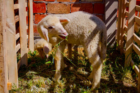 Two young domestic lambs are grazing leaves in fenced wooden corral.