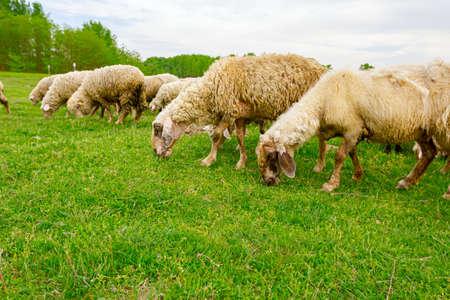 Herd of domestic sheep are grazing grass at green landscape. 版權商用圖片