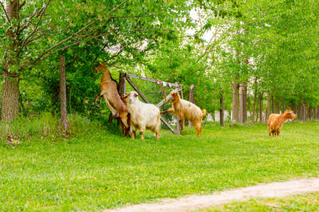 Herd of domestic goats are grazing grass at sunny green landscape. 版權商用圖片
