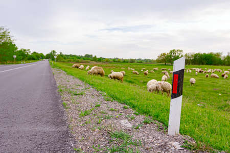 Herd of domestic sheep are grazing grass at green landscape next to the asphalt road.