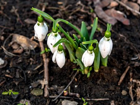 In images snowdrop spring flowers. Delicate Snowdrop flower is one of the spring symbols telling us winter is leaving and we have warmer times ahead. Fresh green well complementing the white blossoms.