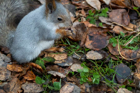 A gray squirrel sits on the ground among fallen leaves. A squirrel holds a nut in its paws. Image on the left. 免版税图像