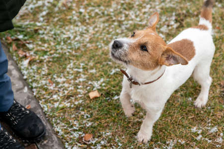 A Jack Russell dog looks at its owner. The image of the hostess is cut off, only her feet in warm shoes are visible.