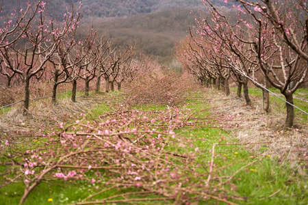 A blooming peach orchard after pruning against the backdrop of mountains. In the aisle are cut branches with flowers. Selective focus.
