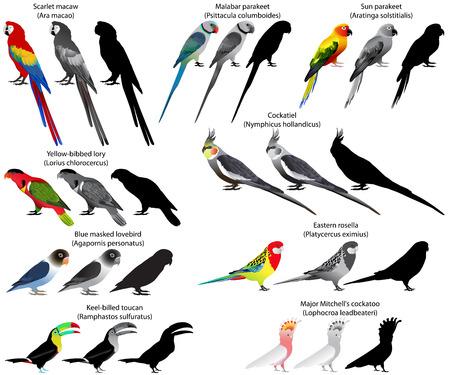 앵무새의 다른 종의 컬렉션입니다. 컬러 및 흑백 벡터.