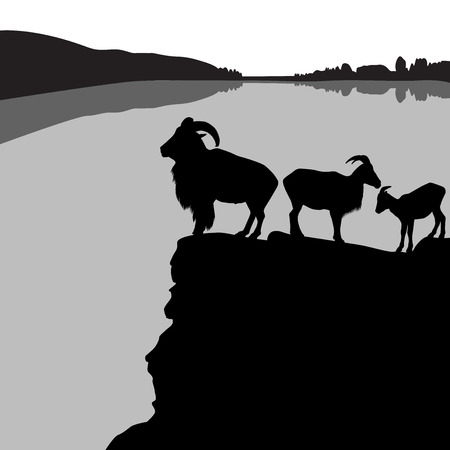 barbary: Herd of barbary sheep on a rocky hill