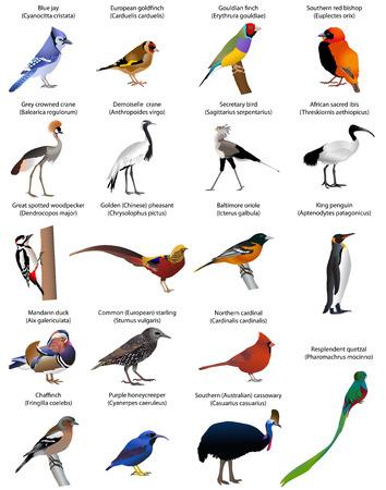 Colección de diversas especies de aves. Ilustración de vector