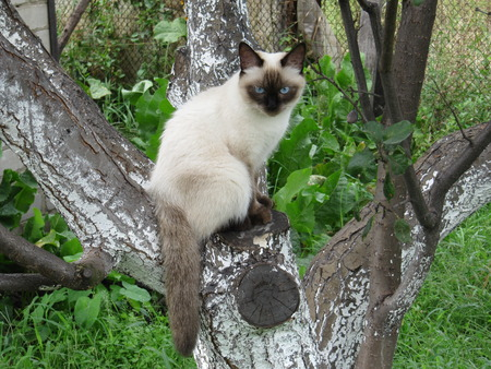 Siamese cat sitting on tree Stock Photo