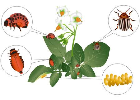 ジャガイモ植物のコロラドカブトムシとその幼虫  イラスト・ベクター素材
