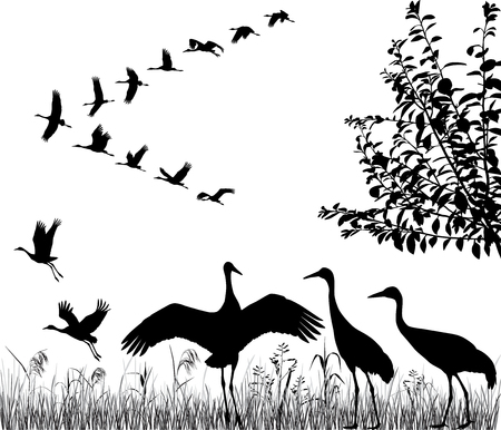 Silhouettes of the flying cranes in flock