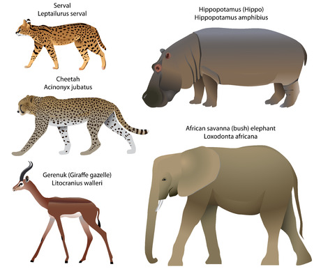 Collection of animals living in the territory of Africa: serval, cheetah, gerenuk, hippopotamus, African savanna elephant. Иллюстрация