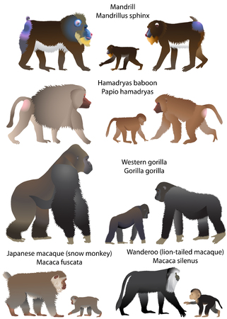 Collection of monkeys living in the territory of Africa and Asia. Stock Illustratie