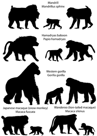 Collection of silhouettes of monkeys living in the territory of Africa and Asia.