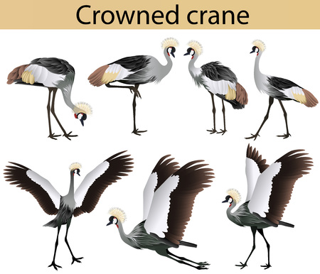 Collection of crowned cranes in colour image Иллюстрация