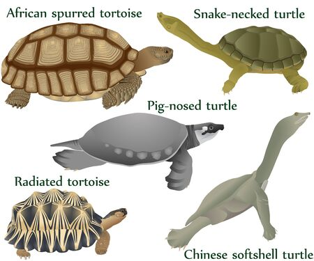 Collection of different species of turtles and tortoises in colour image: pig-nosed turtle, snake-necked turtle, chinese softshell turtle, african spurred tortoise, radiated tortoise