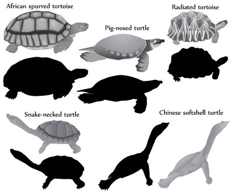 Collection of different species of turtles and tortoises in black-white image and silhouette: pig-nosed turtle, snake-necked turtle, chinese softshell turtle, african spurred tortoise, radiated tortoise