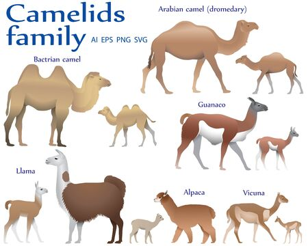 Collection of different species of mammals of camel family, adults and cubs, in colour image: bactrian camel, arabian camel (dromedary), llama, alpaca, guanaco, vicuna Ilustração