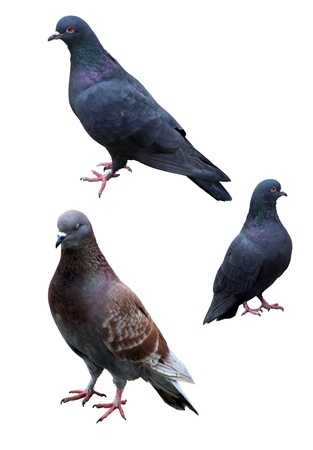 three pigeons on a white background Stock Photo
