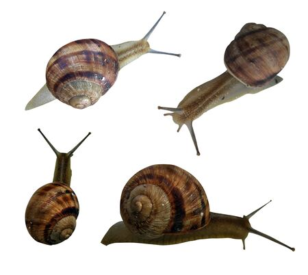 clam gardens: four snail on a white background