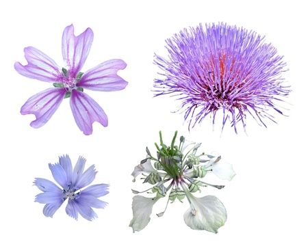 chicory flower: different wild flowers on a white background