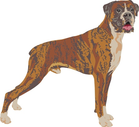 traced: Boxer dog breed traced in detail Illustration